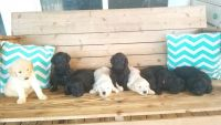 Goldendoodle Puppies for sale in Greensboro, NC, USA. price: NA