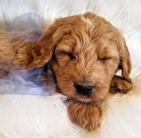 Goldendoodle Puppies for sale in 136 Churchtown Rd, Narvon, PA 17555, USA. price: NA