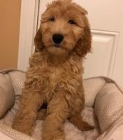 Goldendoodle Puppies for sale in West Bloomfield Township, MI, USA. price: NA