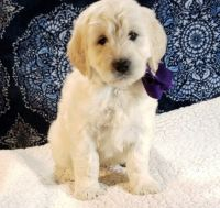 Goldendoodle Puppies for sale in New Castle, PA, USA. price: NA