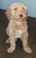 Goldendoodle Puppies for sale in Fredericktown, OH 43019, USA. price: NA