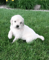Goldendoodle Puppies for sale in Hollywood, FL, USA. price: NA
