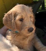 Goldendoodle Puppies for sale in Waco, TX, USA. price: NA