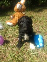 Goldendoodle Puppies for sale in Edgefield County, SC, USA. price: NA