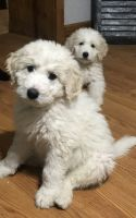 Goldendoodle Puppies for sale in Stoutsville, OH 43154, USA. price: NA