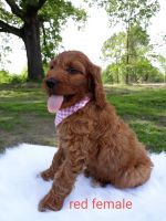 Goldendoodle Puppies for sale in Mt Pleasant, TX 75455, USA. price: NA