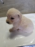 Goldendoodle Puppies for sale in Farmington, MO 63640, USA. price: NA