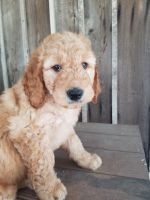 Goldendoodle Puppies for sale in Loogootee, IN 47553, USA. price: NA