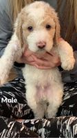 Goldendoodle Puppies for sale in Higden, AR 72067, USA. price: NA