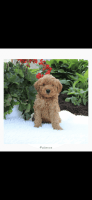 Goldendoodle Puppies for sale in Brooklyn, NY, USA. price: NA
