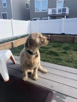 Goldendoodle Puppies for sale in Riverton, UT, USA. price: NA