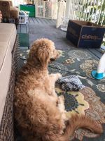 Goldendoodle Puppies for sale in Oaklyn, NJ 08107, USA. price: NA