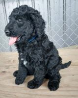 Goldendoodle Puppies for sale in Bradleyville, MO 65614, USA. price: NA