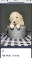 Goldendoodle Puppies for sale in 235 Coral Hill Rd, Glasgow, KY 42141, USA. price: NA