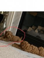 Goldendoodle Puppies for sale in Bristow, VA, USA. price: NA