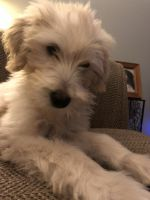 Goldendoodle Puppies for sale in Palm City, FL 34990, USA. price: NA