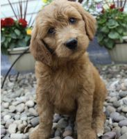 Goldendoodle Puppies for sale in Lumberton, NC, USA. price: NA