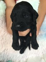 Goldendoodle Puppies for sale in Croghan, NY 13327, USA. price: NA