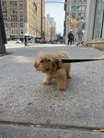 Goldendoodle Puppies for sale in Manhattan, New York, NY, USA. price: NA
