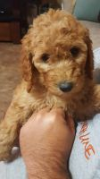 Goldendoodle Puppies for sale in Houston, TX, USA. price: NA