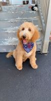 Goldendoodle Puppies for sale in Everett, MA 02149, USA. price: NA