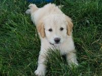 Goldendoodle Puppies for sale in West Manchester, OH 45382, USA. price: NA
