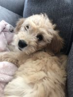 Goldendoodle Puppies for sale in Dallas, TX, USA. price: NA