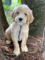 Goldendoodle Puppies for sale in Gainesville, FL, USA. price: NA