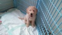 Goldendoodle Puppies for sale in Jerome, MI 49249, USA. price: NA