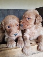Goldendoodle Puppies for sale in Sorento, IL 62086, USA. price: NA