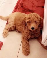 Goldendoodle Puppies for sale in Boynton Beach, FL, USA. price: NA