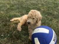 Goldendoodle Puppies for sale in Flora, IN, USA. price: NA