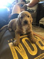 Goldendoodle Puppies for sale in Gladstone, MO, USA. price: NA