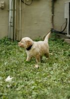 Goldendoodle Puppies for sale in Chattanooga, TN, USA. price: NA