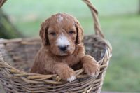Goldendoodle Puppies for sale in Plain City, OH 43064, USA. price: NA
