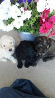 Goldendoodle Puppies for sale in Peyton, CO 80831, USA. price: NA