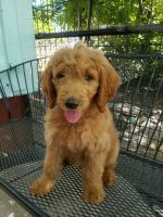 Goldendoodle Puppies for sale in Northern California, CA, USA. price: NA