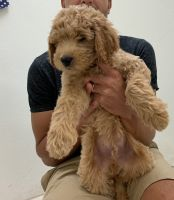 Goldendoodle Puppies for sale in Virginia Beach, VA, USA. price: NA