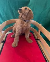 Goldendoodle Puppies for sale in Milwaukee, WI, USA. price: NA