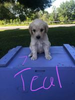 Goldendoodle Puppies for sale in Rodman, NY 13682, USA. price: NA