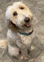 Goldendoodle Puppies for sale in Boyd, TX 76023, USA. price: NA