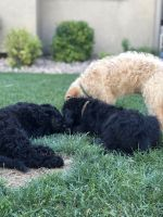 Goldendoodle Puppies for sale in Provo, UT, USA. price: NA