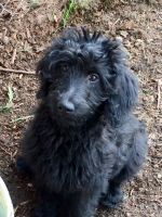 Goldendoodle Puppies for sale in Salem, OR, USA. price: NA