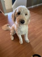 Goldendoodle Puppies for sale in Marysville, WA, USA. price: NA
