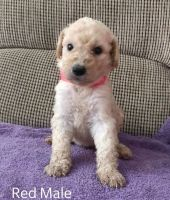 Goldendoodle Puppies for sale in Davenport, FL, USA. price: NA