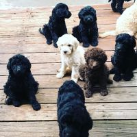 Goldendoodle Puppies for sale in Weiser, ID 83672, USA. price: NA