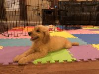 Goldendoodle Puppies for sale in Durant, OK, USA. price: NA