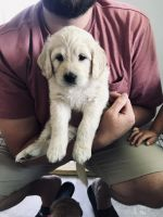 Goldendoodle Puppies for sale in Bridgeport, NY, USA. price: NA