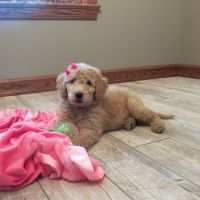 Goldendoodle Puppies for sale in Pleasantville, PA 15521, USA. price: NA