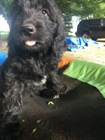 Goldendoodle Puppies for sale in Saranac, MI 48881, USA. price: NA